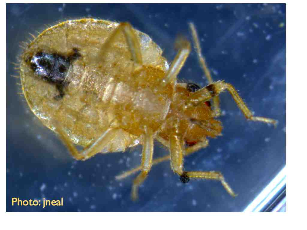 Living With Bed Bug Vision Living With Insects Blog
