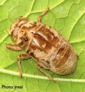 Cicada cast skin