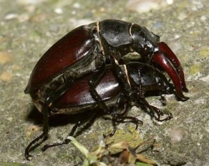 Male stag beetle (top) using its enlarged mandibles to guard a mated female. Males are territorial and use their mandibles for jousting with each other.