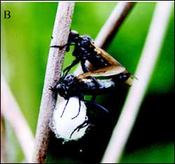 Mating in Predators | Living With Insects Blog