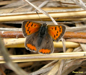 Lycaena phlaeas, The American Copper Coppers and other grassland butterflies can benefit from landscape management practices designed to enhance butterfly populations
