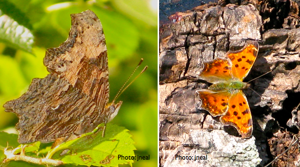 "Comma butterflies.  Note the white ""comma"" on the underside of the wing (left)."