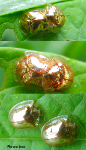 Golden Tortoise Beetles