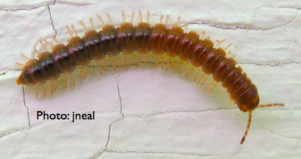 Living with millipedes living with insects blog millipede on my house publicscrutiny Choice Image