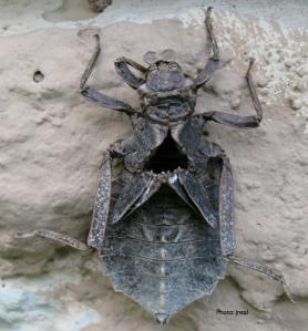 Dragonfly Larva Exuvia