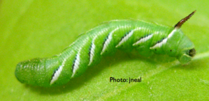 Tobacco Hornworm Caterpillar