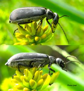 Blister Beetle F