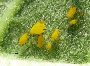 Milkweed Aphid