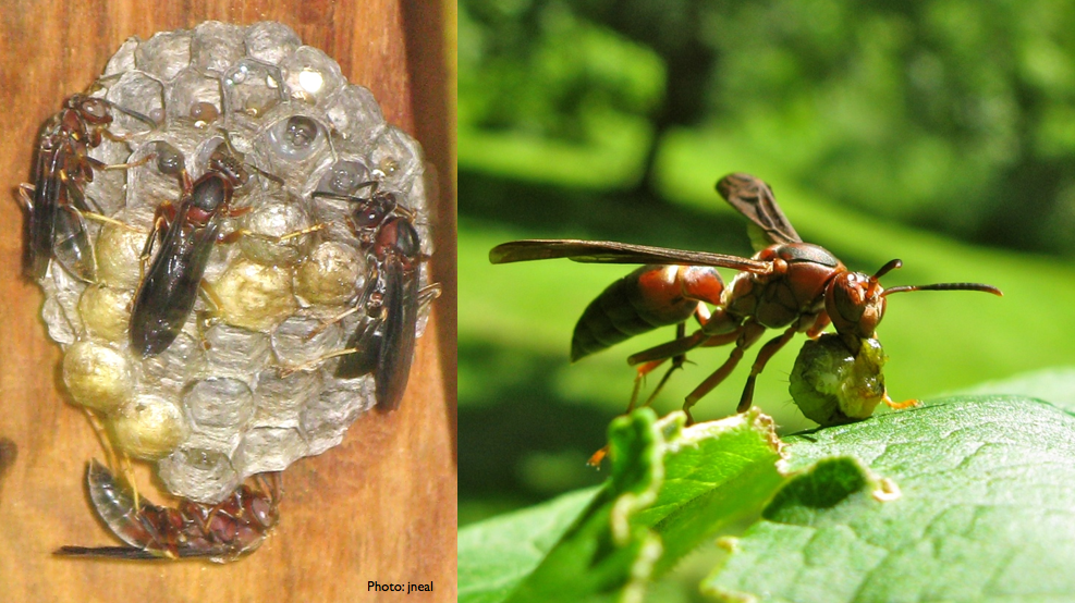 how to kill red paper wasps