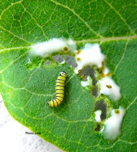 Monarch Larva on Milkweed Leaf