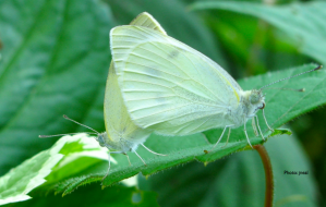 Cabbage White Butterflies
