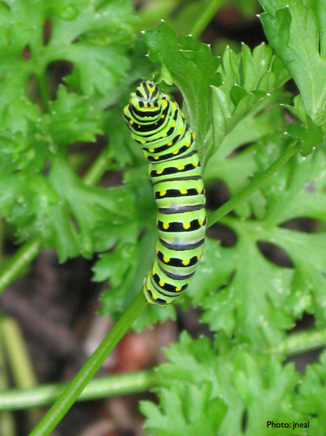 Black Swallowtail Caterpillar Feeding on Parsley