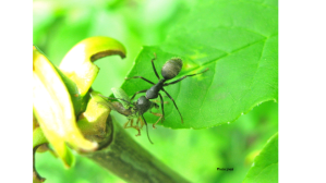 Ant Feeding on an Immigrant Green Weevil
