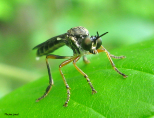 European Robber Fly