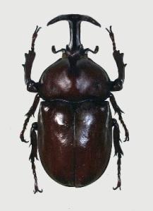 A Rhinoceros Beetle   Photo: Osaka Harmony Museum