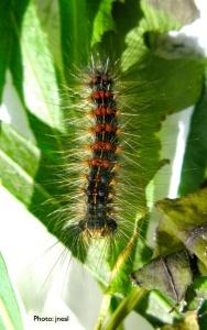Gyspy Moth Caterpillar