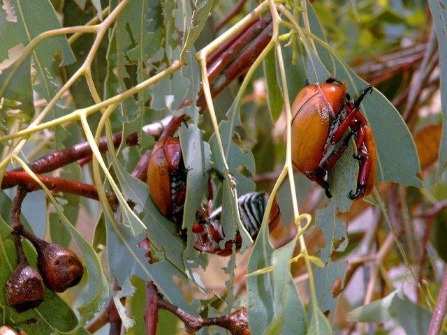 Christmas Beetles  Photo: CSIRO
