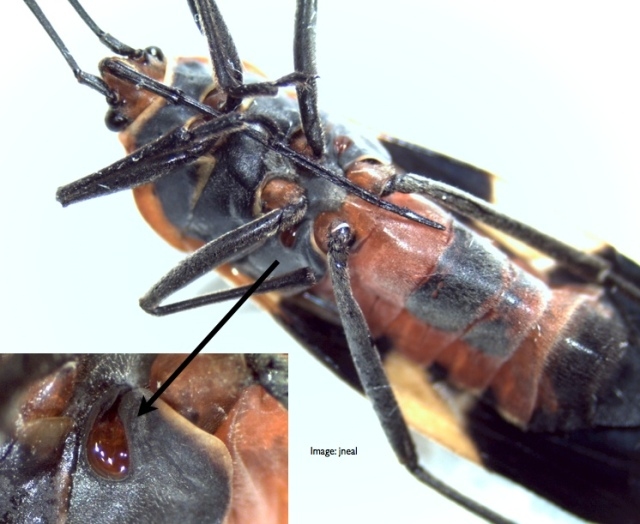 Scent glands on the thorax of the milkweed bug.  Inset:  enlargement of the scent gland and the scent canal