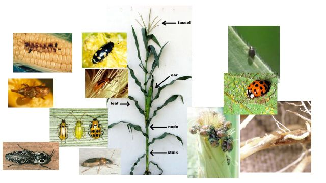 A few of the Beetles that are found on corn plants.  The total numbers of insect species found on a single plant is much larger.