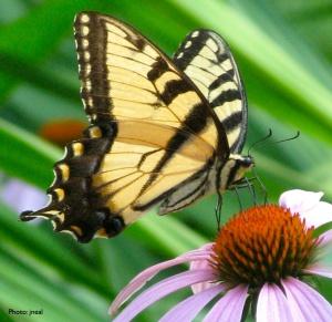 Male Tiger Swallowtail