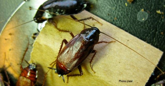 Oriental Cockroach extends its antenna