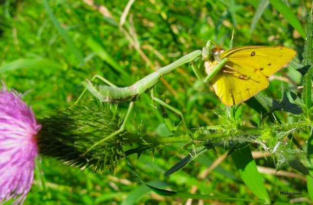 Praying Mantis With a Sulfur Butterfly