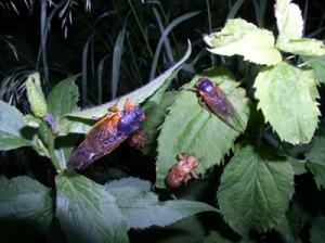 Periodic Cicadas