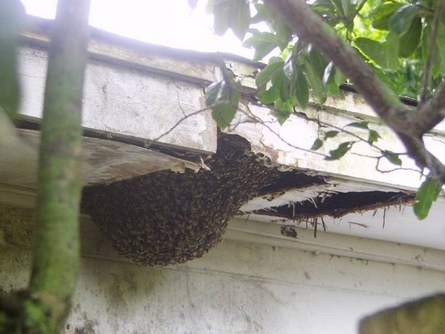 Feral Bees guard the entrance to an abandoned house in foreclosure Photo  Ray Weiss  Living. Insects In Houses