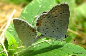 EasternTailed-Blue