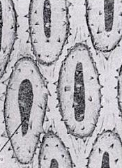 proventriculus cell