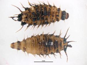 Lesser House Fly Larva