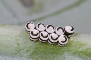 Harlequin bug eggs