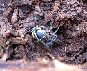 Overwintering Hornet