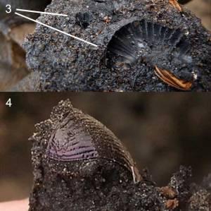 Fossil Beetle