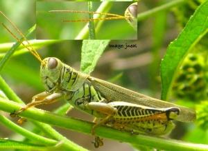 Grasshopper antenna