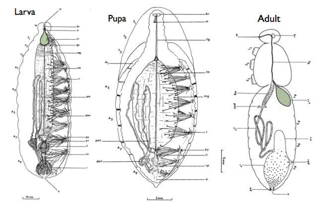 Changes to the Digestive System During Metamorhposis Left: Caterpillar  Middle: Pupa  Right: Adult  After Judy and Gilbert