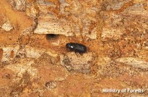 Douglas Fir Bark Beetle