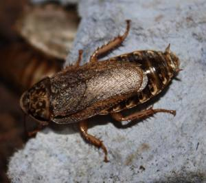 Lobster Cockroach