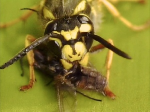 Wasp Eating Fly