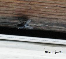 House fly.001