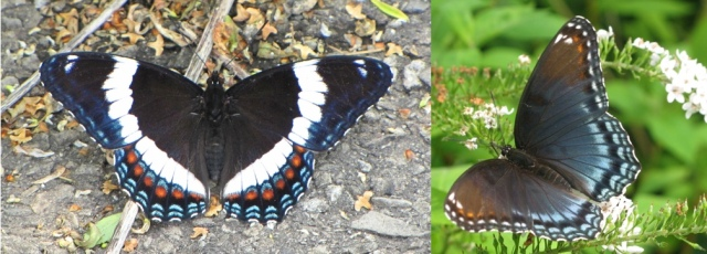 Liminitis Butterflies