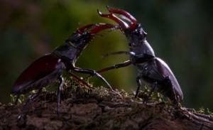 Male Stag Beetles