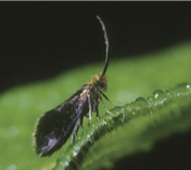 Epimartyria auricrinella