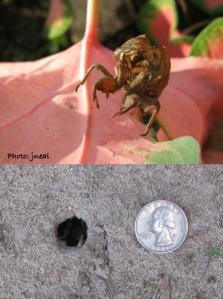 Top:  Cicada cast skin Bottom:  Cicada emergence hole