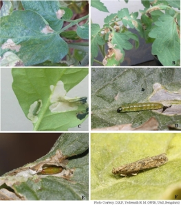 Tomato Leaf Miner:   Life stages and damage