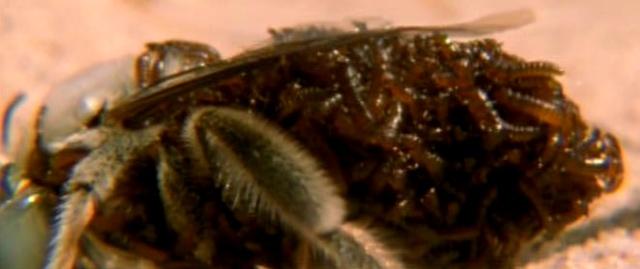 Triungulin Larvae