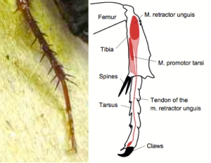 Left: Cockroach Tibia and Tarsus Right: Cartoon Showing Location of Muscles