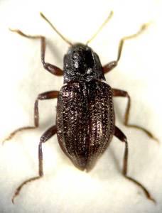 Riffle Beetle