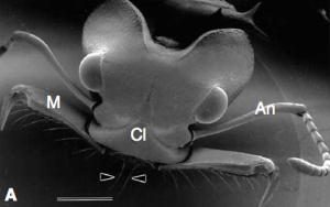 Trigger hairs (arrows) on the mandibles of a Trap Jaw Ant Image from