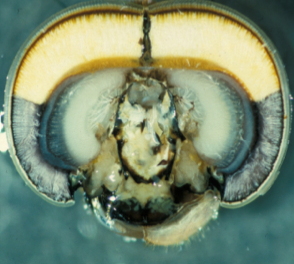 Dragonfly head, note yellow pigment in dorsum of compound eye Image: Wernet & Colleagues*